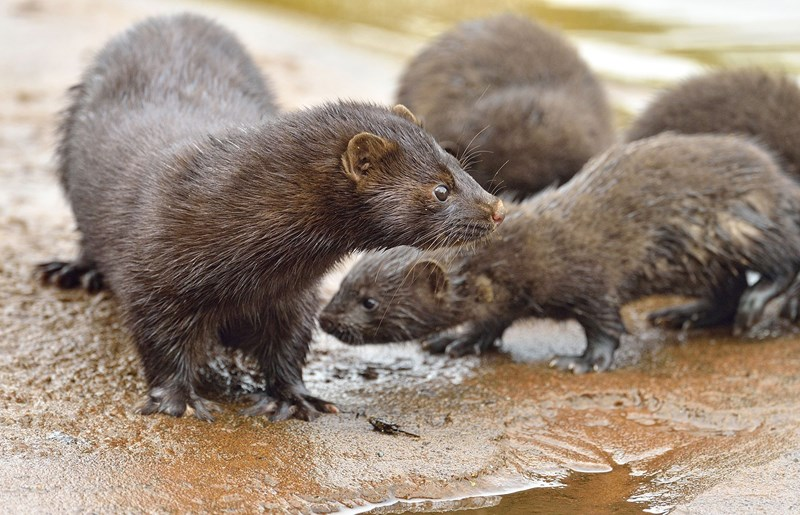 a picture of a minks in the water - a story about a jailbreak for 40000 minks to get out of a fur farm
