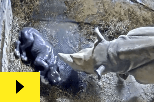 a picture of a newborn black rhino and its mother - cover for a story about a newborn baby rhino