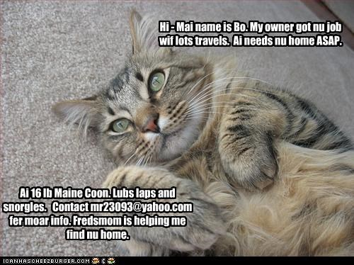Hi - Mai name is Bo. My owner got nu job wif lots travels. Ai needs nu home ASAP. Ai 16 lb Maine Coon. Lubs laps and snorgles. Contact mr23093@yahoo.com fer moar info. Fredsmom is helping me find nu home.