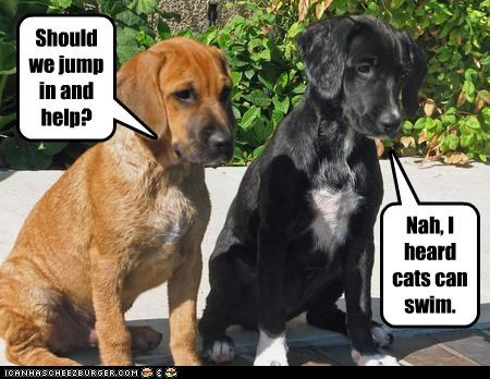 help,labrador,lolcats,swimming,water