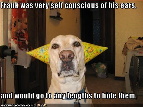 ears,embarrassing,hats,hide,labrador