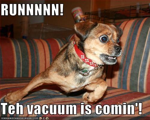 chihuahua running scared vacuum - 2802034944