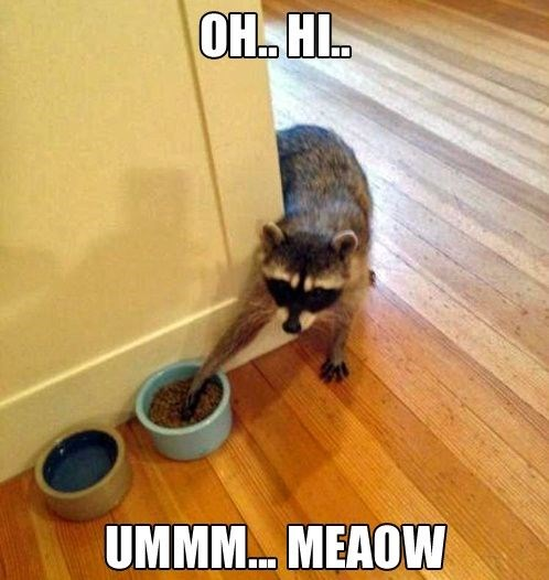 a photo of a raccoon that is trying to grab cat food from the bowl and acting like a cat - cover for a list of funny memes of raccoons