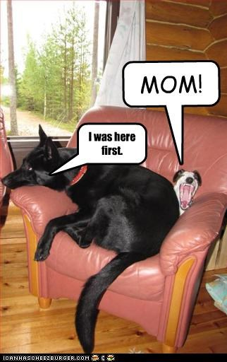 chair,first,german shepherd,mom,rat terrier