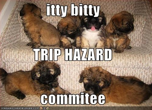 havanese itty bitty puppies stairs trip - 2810746624