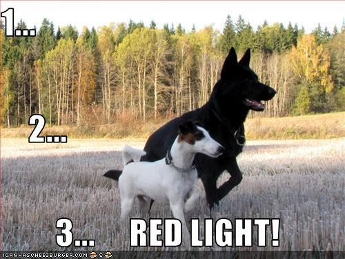 german shepherd light play playing rat terrier red - 2816296960