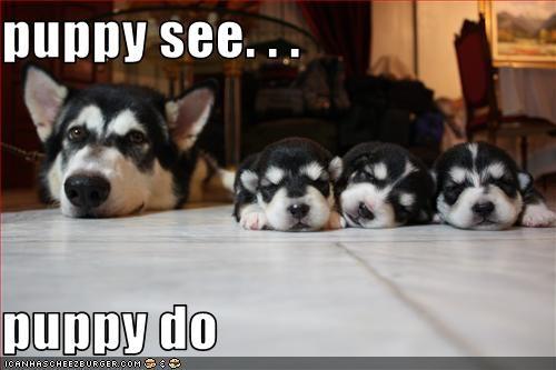 litter mom puppies siberian husky - 2817850368