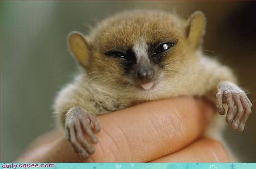 loris sleepy Slow Loris