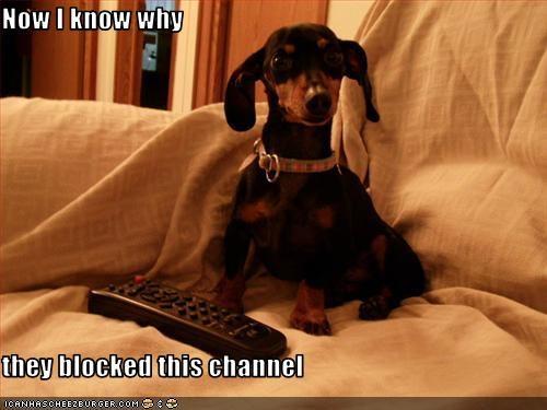 adult block miniature pinscher TV - 2831650816