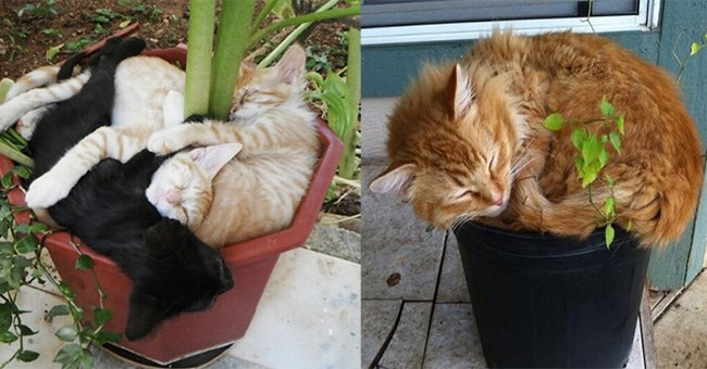 an adorable orange giner cat sleeping in a small flower pot - cover photo for a list on cats that believe they are flowers but aren't but they are still too cute