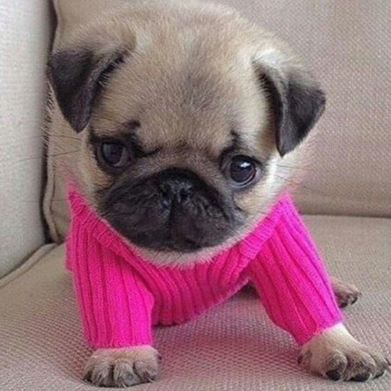 an adorable little pug sitting on the couch in a bright pink sweter looking confused - cover for animals that might or might not love their new sweaters
