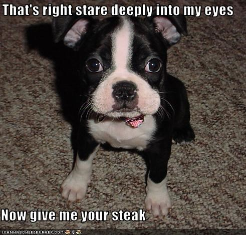 boston terrier,eyes,give,hypnosis,puppy,steak