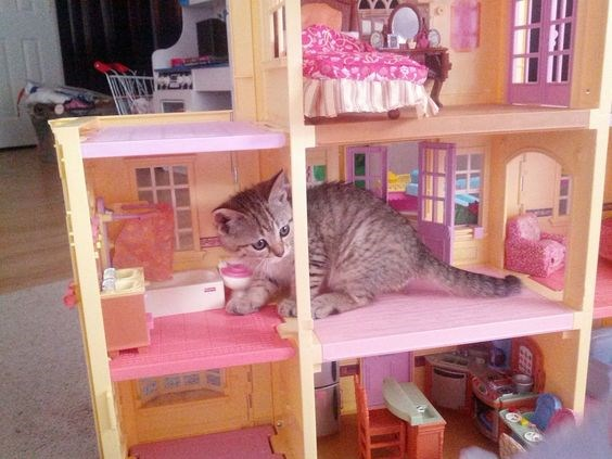 a kitten that has broken into a doll has and looks confused - cover for a list of kittens and cats that are breaking into doll houses