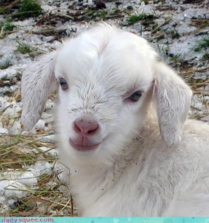 baby goat kid - 2866838272
