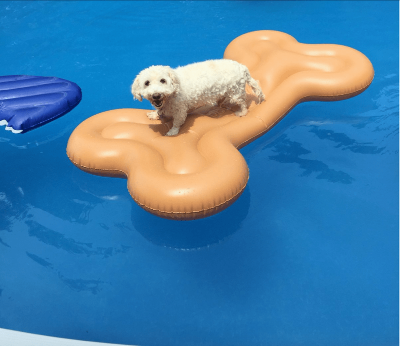 an adorable picture of a small puppy sitting on a bone shape float in the pool and smiling - cover for a list of tweets with pictures of dogs enjoying the good life and floating on floats in the water