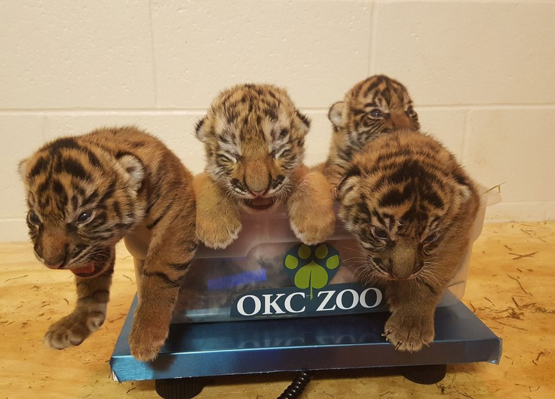 a photo of 4 tiger cubs being weighed - cover for a story about a cub being rejected and getting a new mother