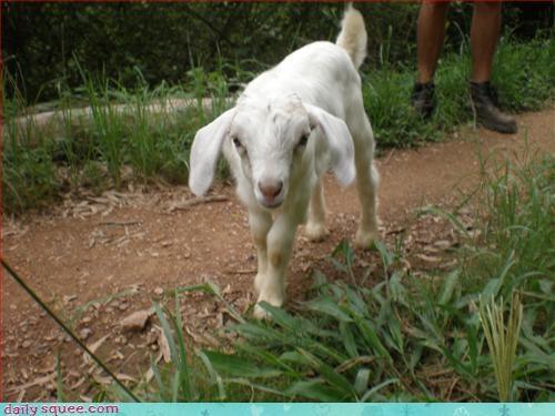 baby goat kid - 2889247488