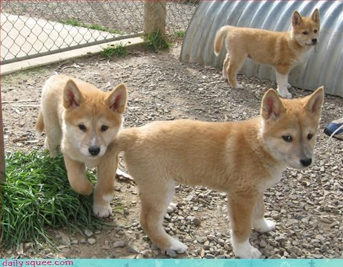 puppies shiba inu siblings - 2894249984