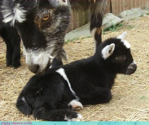 baby goat kid - 2897481216