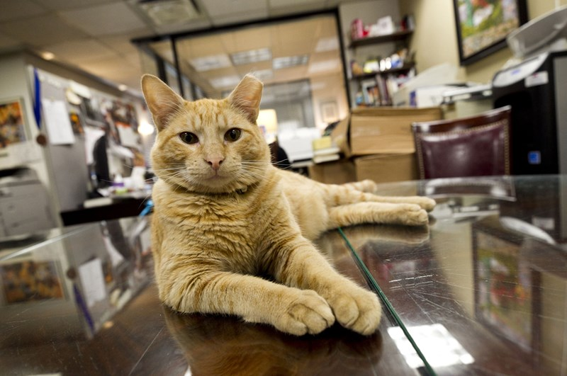 a photo of an orange tabby cat laying on a desk staring at the camera - cover photo for a story about a cat that was adopted from the streets and taken to be the new mascot of a hotel in NYC