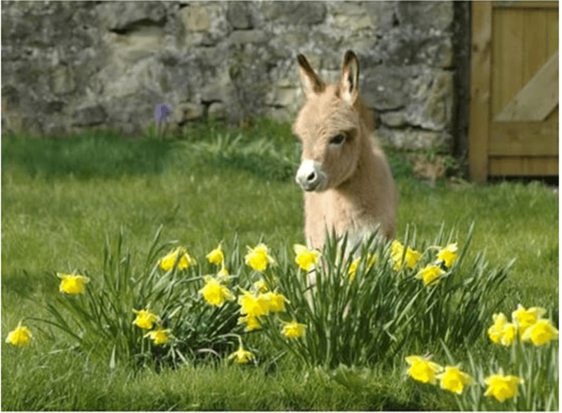 a cute photo of a mini donkey that is in a flower field - cover for a list of pictures of mini donkeys
