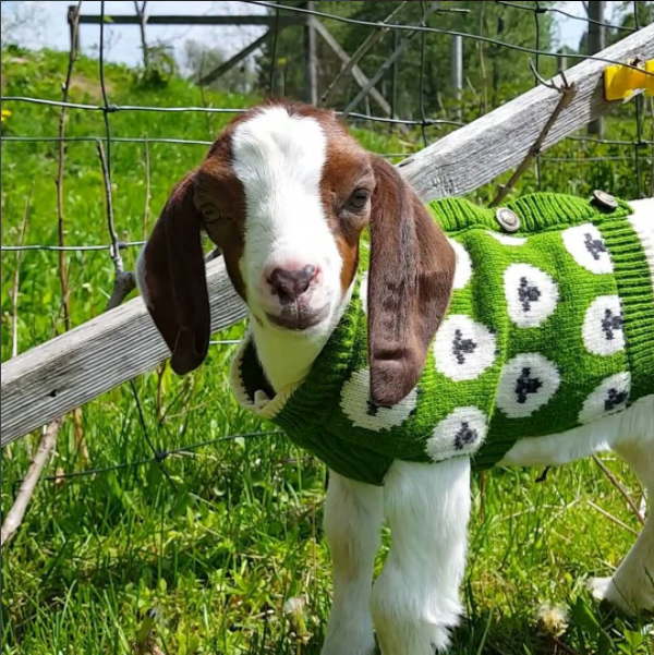 People are showing off their pet goats online