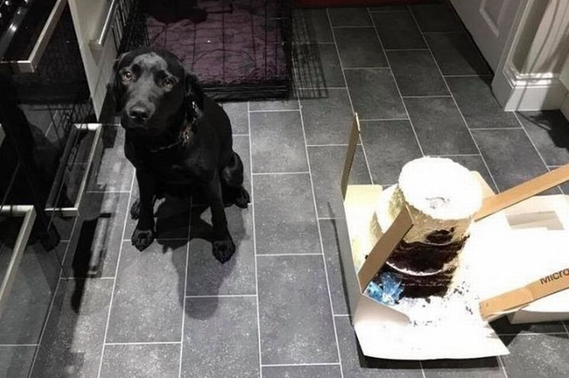 a funny photo that shows a black lab and the large wedding cake that the dog had decided to eat hours before the wedding - cover for a story about a uk dog eating a couples wedding cake