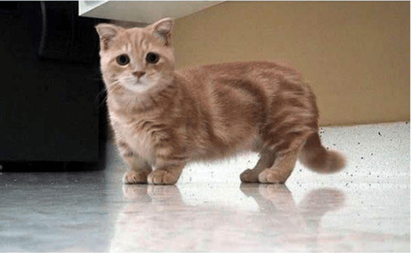 a very cute orange tabby munchkin kitten staring at the camera - cover for a list of just adorable munchkin kittens