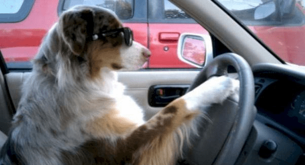 a funny photo of a dog with one hand on the stiring wheel and with sunglasses on looking at the road ahead. - cover for a list of funny photos of dogs driving cars