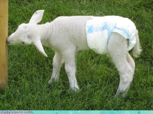 baby,lamb,noms