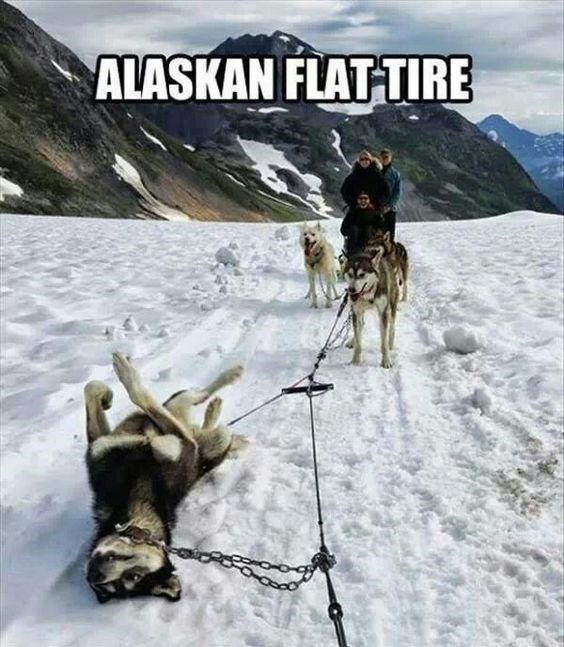 a very cute photo of a sled of huskies in alaska and one falls over enjoying the snow and thats the alaskian version of a flat tire
