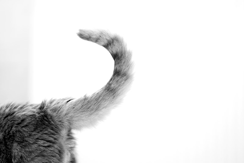facts about the tail of your cat