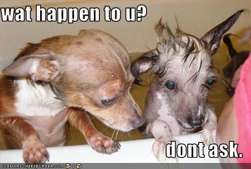 bath bathroom chihuahua chinese crested scared wet - 2936452864