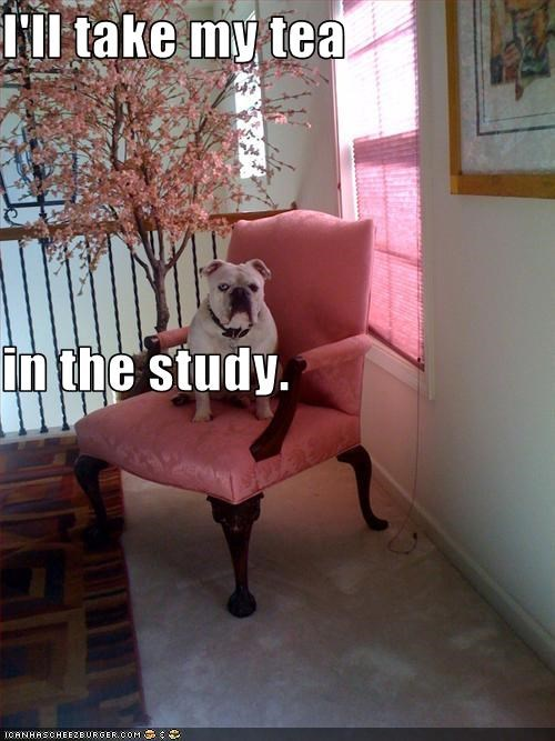 bulldog chair sitting sophisticated tea - 2943972096