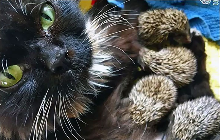 Russian cat adopts 8 hedgehog babies who lost their mom