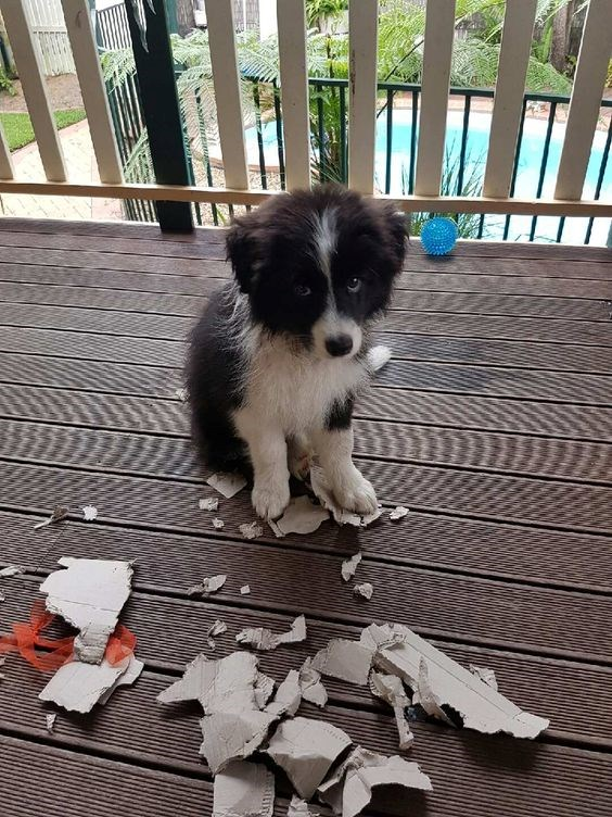 a very cute pupp looking very guilty for the mess hes done while playing -cover for a list of dogs and puppies that look very guilty for what they did