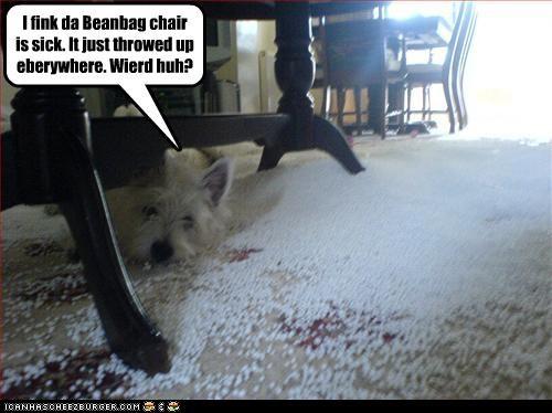 bean bag chair destruction mess sick throw west highland white terrier