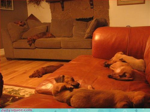 puppy sleepy wiener