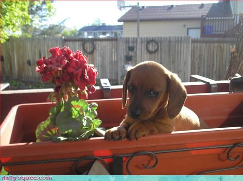 cute dogs wiener - 2955055616