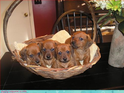 dogs litter wiener - 2955058432