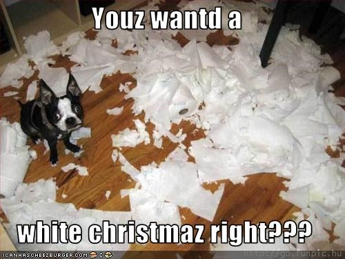 boston terrier,christmas,destruction,shredding,toilet paper,white