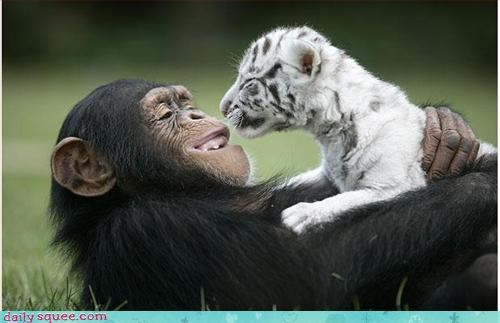 chimpanzee love tiger - 2961548288