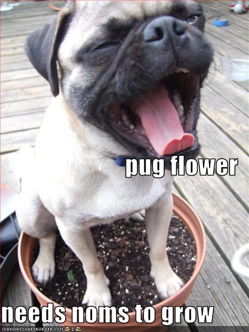 flowers grow nom potted pug
