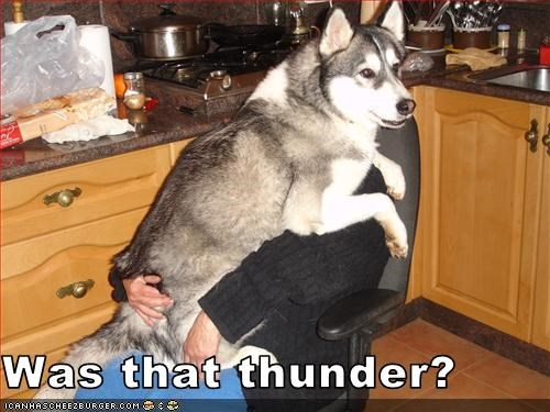 hug human lap loud malamute scared sound thunder - 2966420992