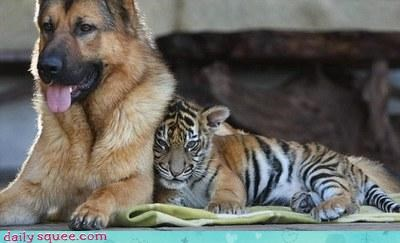 dogs,friends,tiger