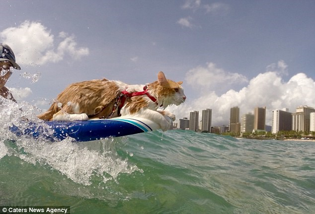 surfing cat with one eye