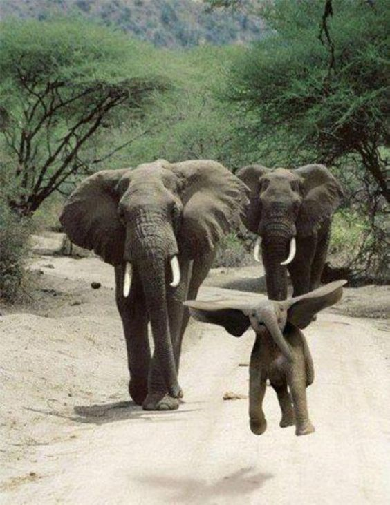 a funny photo of a baby elephant using his large dumbo ears to try to fly - cover for a list of baby elephants that are just really cute