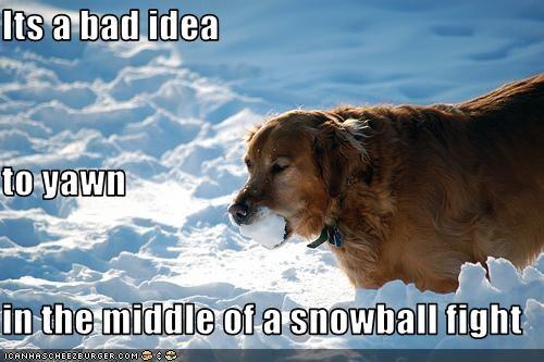 fight golden retriever snowball yawn