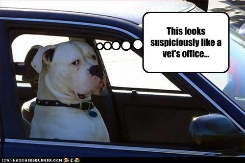 american bulldog,cars,Office,ride,suspicious,vet