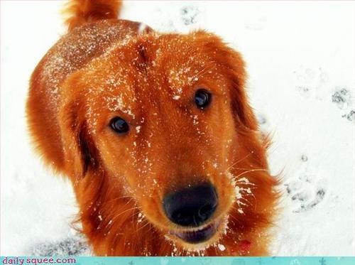 dogs golden retriever puppy - 2983317248
